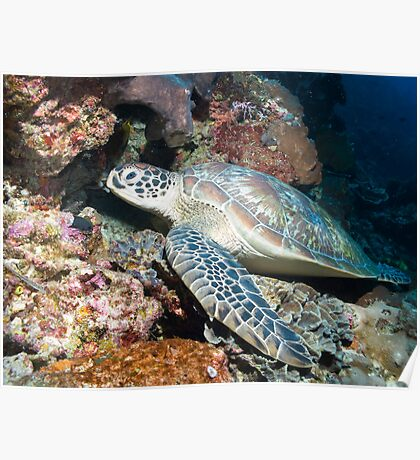 Turtle on the wall Poster