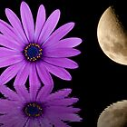 Osteospermum by David's Photoshop