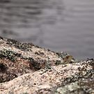 Baby Eastern Water Dragon among rocks by Blue Gum Pictures
