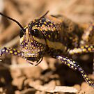 Blistered Grasshopper (Monistria pustulifera) by Blue Gum Pictures