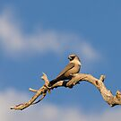 Masked Woodswallow (Artamus personatus) by Blue Gum Pictures