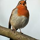 Robin Singing by Robert Abraham