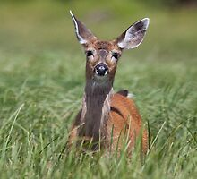 Black-tailed deer, Glendale Cove  by Rachael Talibart