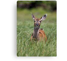 Black-tailed deer, Glendale Cove  Canvas Print