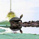 Lazy Day Turtle by SuddenJim