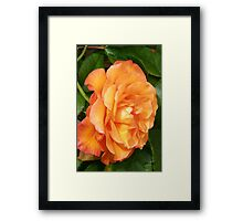 The Rose .. Orange Glory Framed Print