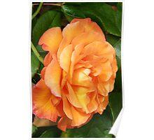The Rose .. Orange Glory Poster