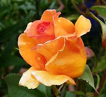 Orange Rose Bud by LoneAngel