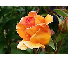 Orange Rose Bud Photographic Print
