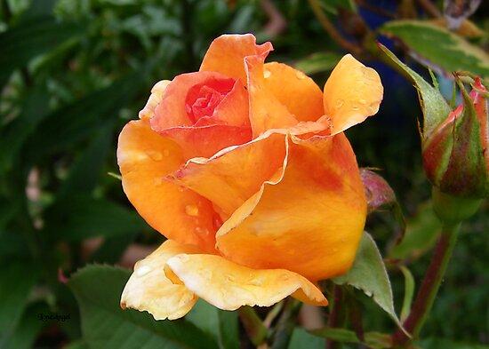 Orange Rose Bud by LoneAngel