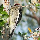 Yellow-Bellied Sapsucker (Woodpecker) by Arla M. Ruggles