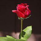 Rosebud by heatherfriedman
