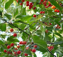 Sour Cherries on tap by MarianBendeth