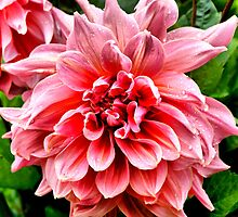Wet Dahlia by Sandra Cockayne