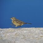 american pipit, ottawa by jamesmcdonald