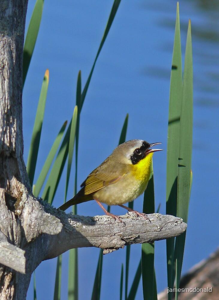 common yellowthroat by jamesmcdonald