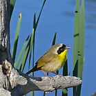 common yellowthroat by jamesmcdonald
