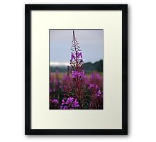Rose Bay Willow Herb Framed Print