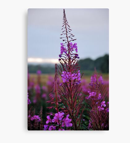 Rose Bay Willow Herb Canvas Print