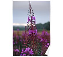 Rose Bay Willow Herb Poster