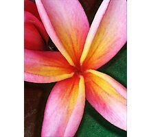 Pink and Yellow Plumeria Photographic Print
