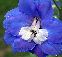 Delphinium by Rusty Katchmer