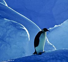 Emperor Penguin, Antarctica by Andy Townsend
