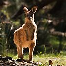 Eastern Grey Kangaroo (Macropus giganteus) by Blue Gum Pictures