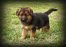 Black & Tan Puppy by Sandy Keeton