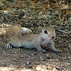 Round-tailed Ground Squirrel ~ Baby II by Kimberly P-Chadwick