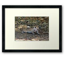 Round-tailed Ground Squirrel ~ Baby II Framed Print