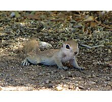 Round-tailed Ground Squirrel ~ Baby II Photographic Print