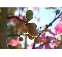 Tree flower pods Photographic Print