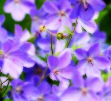 Lavender Beauties by Chappy