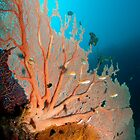 Gorgonian Fan Coral, Papua New Guinea by Erik Schlogl