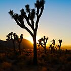 Joshua Trees  by Radek Hofman