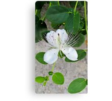 White flower of capers growing on a wall Canvas Print