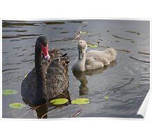 swan & signet Poster