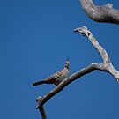 Crested pigeon by tarnyacox