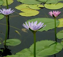 Water Lillies, Cooroibah, QLD. by Angela Gannicott
