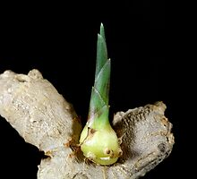 Ginger root with a seedling by Zosimus