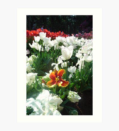 Tulips... Art Print