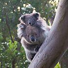 Koala's - Cape Otway, Victoria by Ben    Greg