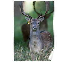 Fallow Deer stag watching during the Rut Poster