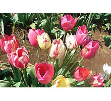 Tulips... Photographic Print