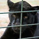 Black Panther - Zoo Arcachon by Melanie PATRICK