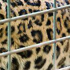 Jaguar - Zoo Arcachon by Melanie PATRICK