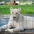 White Lion - Zoo Arcachon by Melanie PATRICK