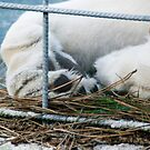 White Lion's paws - Zoo Arcachon by Melanie PATRICK
