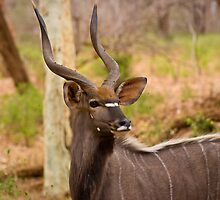 Nyala Bull by Nigel Ivy